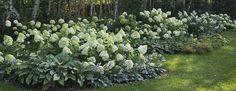 Hudrangeas in Wilcza Gora Garden