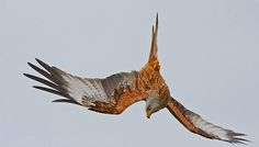 Red Kite, Watlington, reworked. Explored 20.02.14. Thank you.   Flickr - Photo Sharing!
