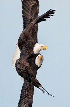 Eagles are a BEAUTIFUL AWESOME Bird.....