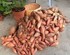 Cómo cultivar batatas en macetas - How to grow sweet potatoes in containers. The Garden of Eaden Easy Vegetables To Grow, Growing Veggies, Growing Plants, Growing Tomatoes, Veg Garden, Edible Garden, Vegetable Gardening, Veggie Gardens, Garden Edging