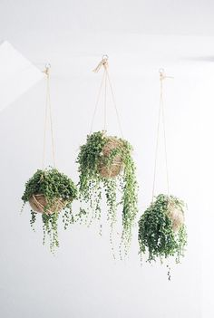 Indoor plants with bead-like leaves, string of pearls are usually planted in hanging baskets. The string of pearls indoor plants grows well in bright light. Cactus E Suculentas, Decoration Plante, Pot Plante, String Of Pearls, Deco Floral, Arte Floral, Hanging Planters, Indoor Hanging Baskets, Diy Hanging
