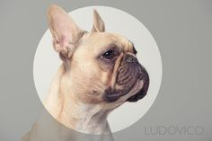 Ludovico - the king . French Bulldogs