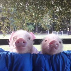 Priscilla & Poppleton: The Mini-Pigs Taking Instagram by Storm! (3/21)
