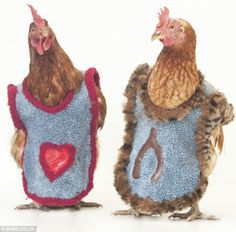 rescued battery farm hens get redressed after a tough life and lost feathers