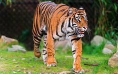 Tiger Wallpapers Free Group  1280×800 Tigers Wallpapers 1280×800 (44 Wallpapers) | Adorable Wallpapers