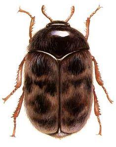 Trogoderma beetle