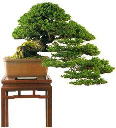 bonsaitoday:  Ezo Spruce Picea Glehnii, Bonsai Today #61, Cover