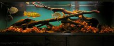 Cichlid tank with driftwood and oak leaves!