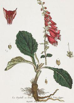 """(Foxglove), from """" La Boutique mise a la portee de tout le monde"""", 1774, Regnault, Nicolas Francois (1746-c.1810)"""