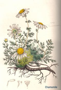 "Chamomille -- Chamomile herb illustration -- from the personal library of ""Herbal Ed"" Smith from his book series, Stephenson & Churchill, ""Medical Botany"": 1834-1836"