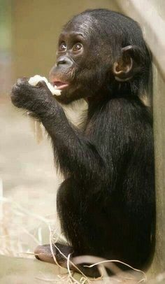 I adore this photo of a bonobo baby