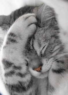 31 Cute Cat Pictures — Adorable Kitten Cats are naturally mischievous animals and very adorable creatures. If you own a cat, you will have a cuddle buddy Cute Cats And Kittens, I Love Cats, Crazy Cats, Adorable Kittens, Ragdoll Kittens, Funny Kittens, Tabby Cats, Bengal Cats, Hairless Cats