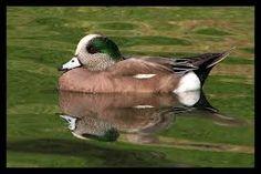 American Widgeon.(male)