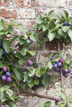 Espalier Tree with Victoria Plums