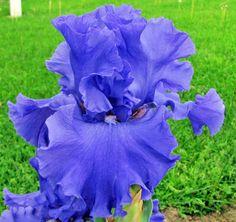 Iris 'Yaquina Blue'