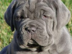 "English Mastiff.....on my ""dream"" list."