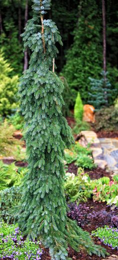 weeping conifers | thegracefulgardener.com