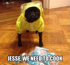 Breaking bad Boston terrier!