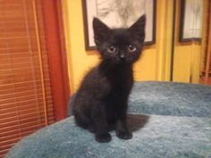 "From Alicia... ""Luna... She ran up to me at a park. She was about 3 weeks old. She adopted us!""  For the month of October, Cat Faeries is celebrating black cats. We will post pictures of our customer's cuties and donate 1% of our October sales to several black cat rescue groups. You can find out more at www.catfaeries.com/blog/celebrating-black-cats-in-october/"