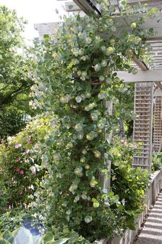 Kintzleys Ghost honeysuckle, Lonicera reticulata, Plant Select