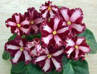 African Violet ~~  Chimera Maltiyskiy Orden  ~~ plant Russian / Ukrainian Variet
