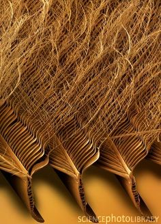 Tawny Owl Feather, SEM by Power and Syred/Science Photo Library: The comblike structure of the leading edge of an owls wing with filamentous extension of their anterior barbules on their feathers breaks turbulence into micro turbulence, muffling sound and giving owls the benefit of silent flight. Most other birds and including raptors (and some daylight hunting owls) do not have this structure.