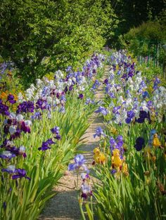 Iris walk. Giverny. Dark purple. Pale blue/lilac and a touch of orange.Garden Perfection.