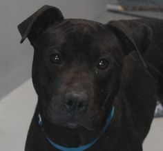CAPTAIN-ID#A693123    My name is CAPTAIN.    I am a neutered male, black Pit Bull Terrier.    The shelter staff think I am about 2 years and 2 months old.    I have been at the shelter since Feb 22, 2013.