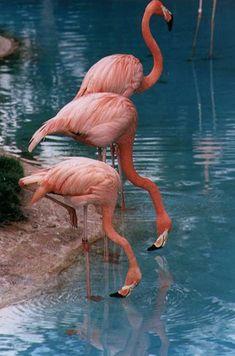 Three beautiful flamingoes
