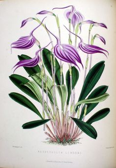 Orchids and how to grow them in India and other tropical climates. (1875) Masdevallia lindeni