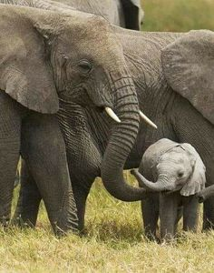 Amboseli (The Big Five) Adventure Safari From Africa Safaris Adventure Limited Animals And Pets, Baby Animals, Funny Animals, Cute Animals, Baby Elephants, Wild Animals, Baby Cows, Elephant Family, Elephant Love