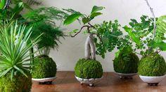 Au centre, kokedama réalisé à partir d'un ficus gingseng ( Ficus microcarpa). Jérémi Seguda, qui les a réalisés, est aussi l'auteur des supports en céramique.