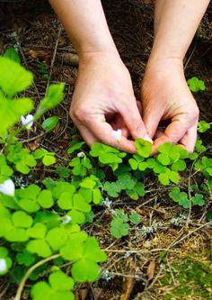 Villiyrtit ja villivihannekset – vinkit keräämiseen ja käyttöön | Meillä kotona Spices, Food And Drink, Garden, Nature, Plants, Finland, Cold, Spring, Tips