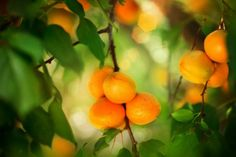 Are Apricot Seeds Dangerous?