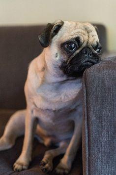 Existential Crisis Pug