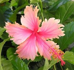 50-Hawaiian-Salmon-Hibiscus-Flower-Seeds-Garden-amp-Home-Perennial-Flower #seedsgarden