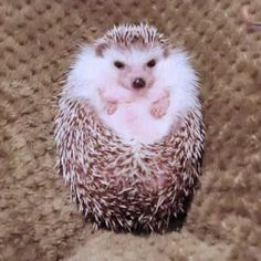Comment funny in your language This hedgehog smells like food and opens up like a flower humor cute animals Cute Little Animals, Cute Funny Animals, Funny Cute, Cute Animal Humor, Hedgehog Pet, Cute Hedgehog, Cute Animal Videos, Cute Animal Pictures, Cute Pics