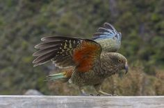 Arthur's Pass, Canterbury, New Zealand- The Kea In one of the many amazing lookout in the Arthur's Pass, live a unique parrot. Photo by Emanuele Del Bufalo