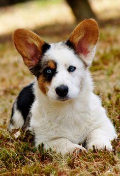 heeler cross puppy, next dog! mix,