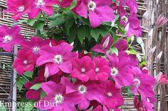 Hometalk :: Beautiful Vines :: Julie @ Wife, Mother, Gardener's clipboard on Hometalk