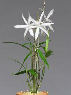 Dendrobium à déterminer 086d837dce731edf9794dfec09e1a3c9