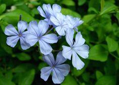 Bela Emilia - Plumbago auriculata Arbusto escandente, pertence à família Plumbaginaceae, nativa da África do Sul, semi-lenhoso, perene