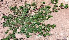 PURSLANE- many health benefits. make a tea infusion with tbsp. & cup of boiled water or eat like a vegetable. Natural Medicine, Herbal Medicine, Home Remedies, Natural Remedies, Garden Edger, Medicinal Herbs, Herbal Plants, Diy Planters, For Your Health