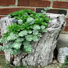 Succulents in a tree stump