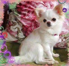 Long-haired Chihuahua image via www.Facebook.com/CuteChihuahuaFans