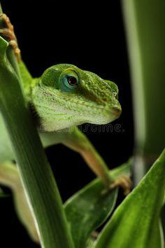 24 Best Crazy Lizards images in 2017 | Lizards, Reptiles