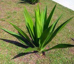 yucca - Google Search Crocosmia, Rosettes, Evergreen, Shrubs, Perennials, Succulents, Bloom, Leaves, Google Search