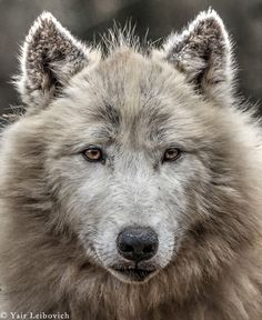 Gray Wolf--Photo by Liebovich Photography