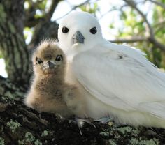 Mother fairy tern and chick. Awww..she's so pretty!