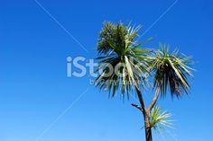 Cabbage Tree (Cordyline Australis), New Zealand Royalty Free Stock Photo Abel Tasman National Park, New Zealand Landscape, Tree Images, Kiwiana, Fresh Image, Image Now, Cabbage, National Parks, Royalty Free Stock Photos